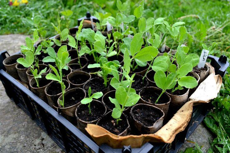 Luktärter i toapappersrullar - sådant som har stora frön och ska dras upp inomhus innan utplantering passar att så i toarullar.