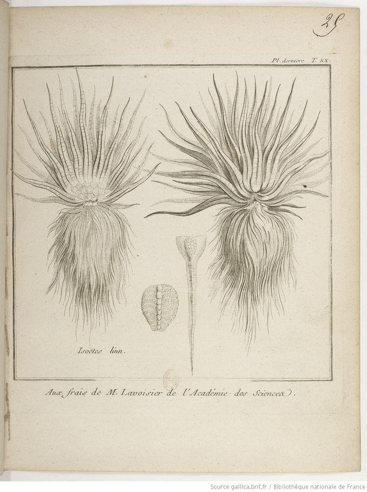 Isoetes; Traité historique des plantes qui croissent dans la Lorraine et les Trois Évêchés / par P. J. Buchoz, 1762-1770