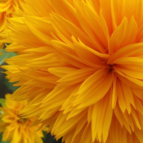 SUNFLOWER DOUBLE DAZZLER :: HEIRLOOM :: 30 seeds via Green Seed Tasmania. Click on the image to see more!