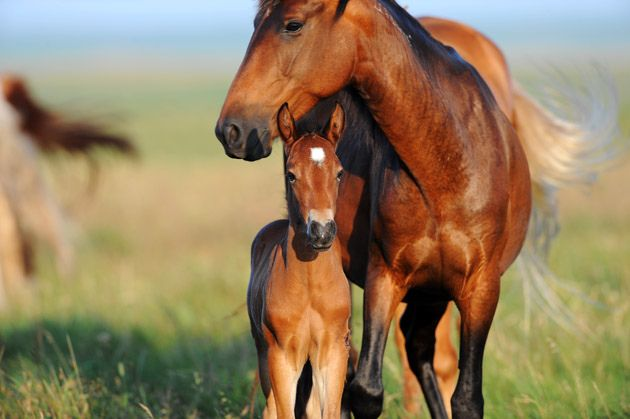 Wild mustang and colt.