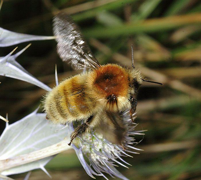 bombus muscorum male flight