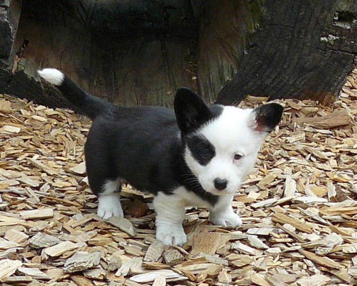 Cardigan Welsh Corgi puppy - Monet, cutest Cardigan puppy ever!