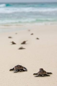 Sea turtles on their way, to... North Island Seychelles