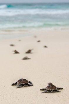 Sea turtles on their way, to... North Island Seychelles