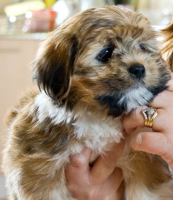 Lhasa Apso. This will be happening.