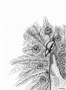 drawing Sketch pen Peacock by woeyea • rebloggy.com