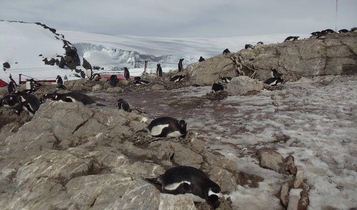 "Antartica, Base B. O'Higgins. ""Pinguinos empollando""."