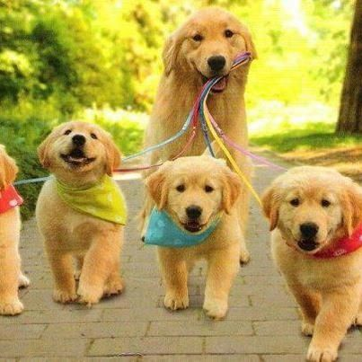 Goldens! Absolutely beautiful!
