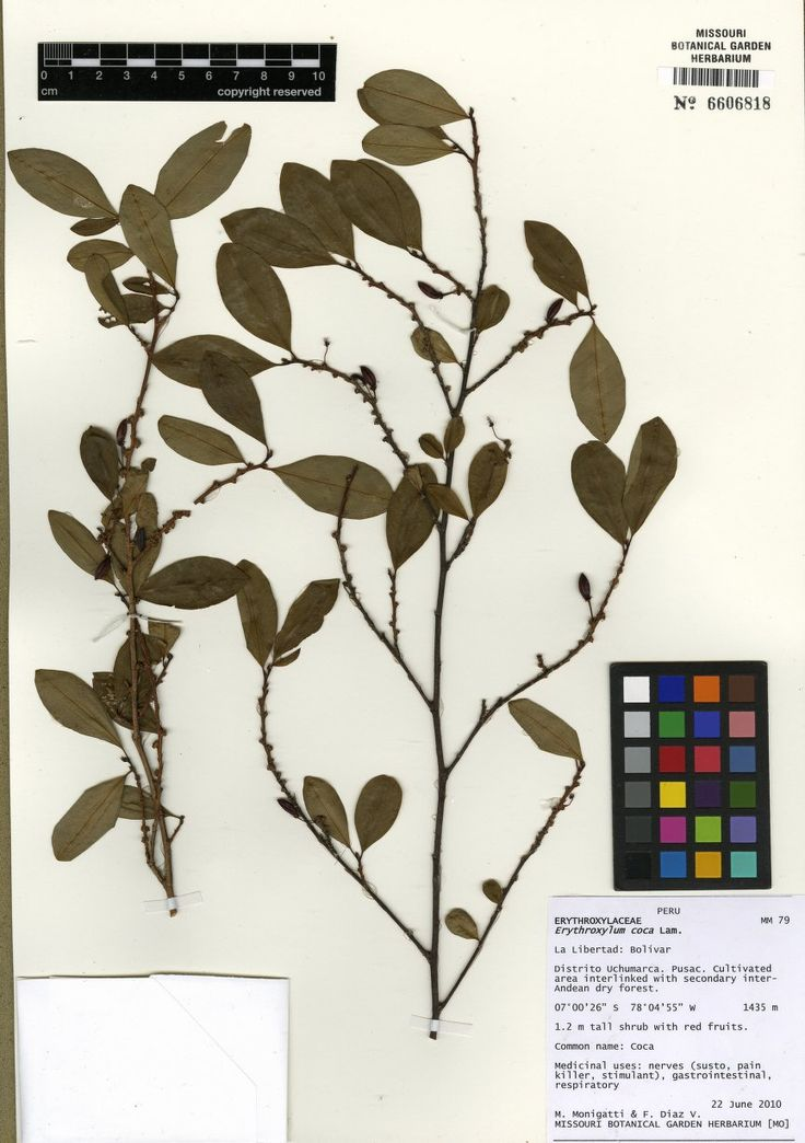 Name	Erythroxylum coca Lam.  Specimen	Monigatti, Martina - 79  Short Description	  Long Description	  Image Kind	Herbarium Specimen  Bar Code	MO-2699715