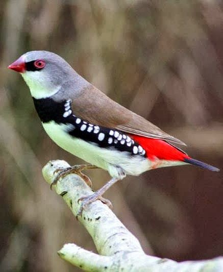 Diamond Firetail Finch ( Emblema guttata ) East and south east Australia.Habitat. Eucalypt forest , grassland with acacia scrub ,open country , orchards, parks and gardens