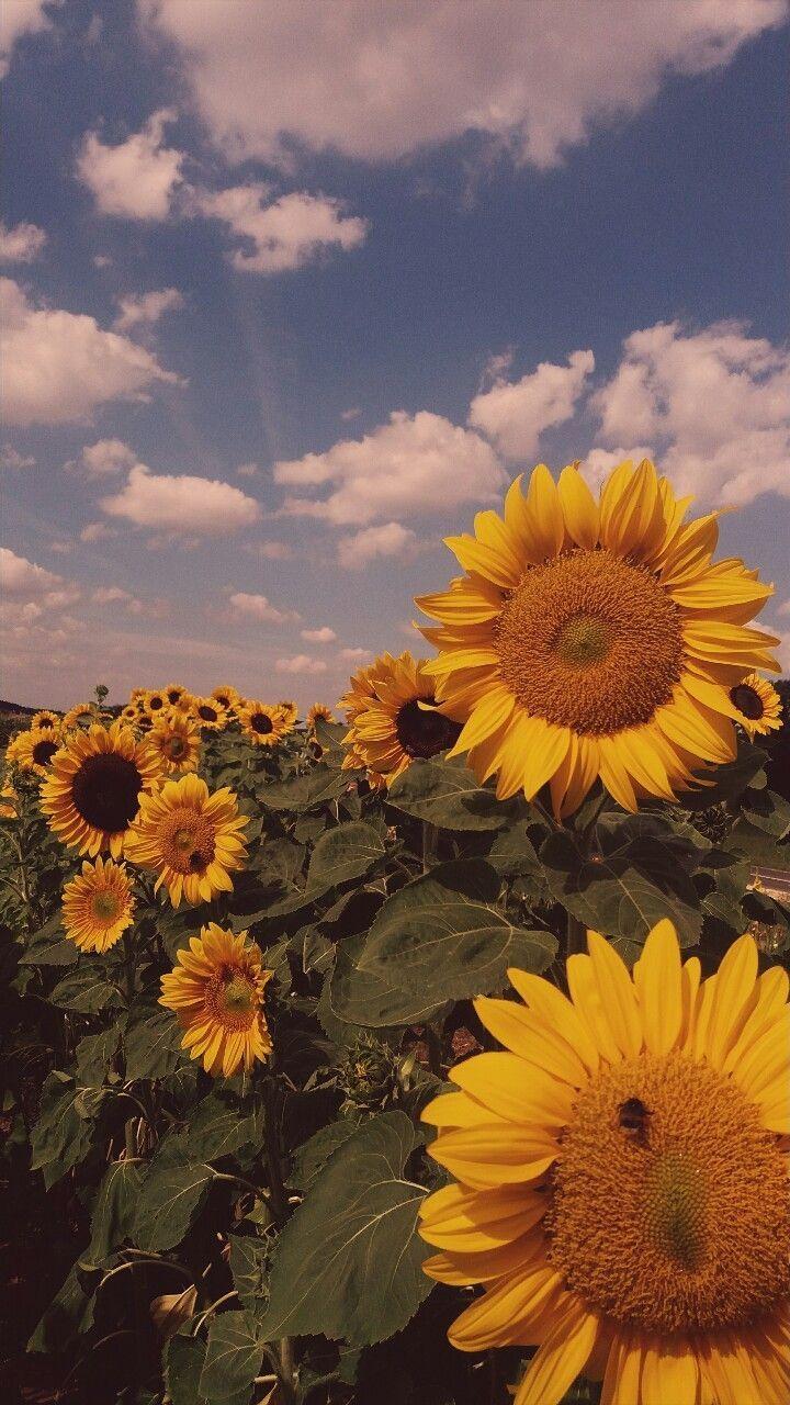 Sun Flower Wallpaper