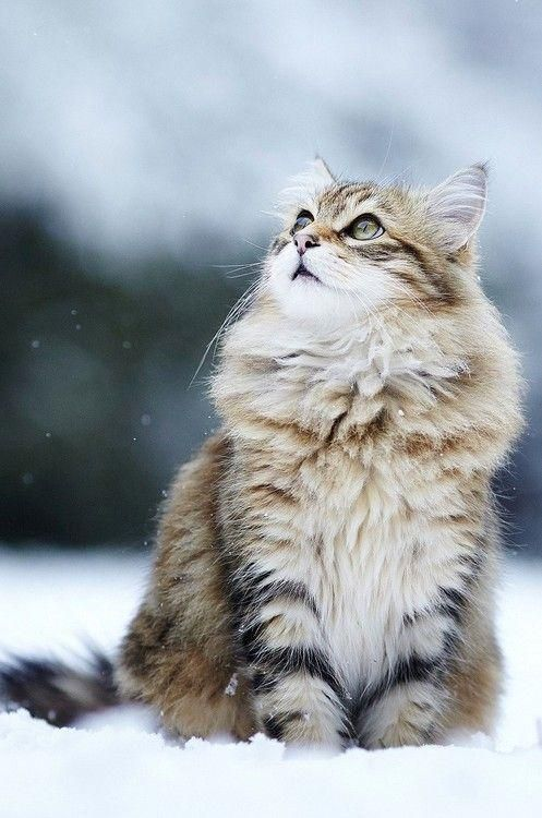 Maine Coon cat in the snow