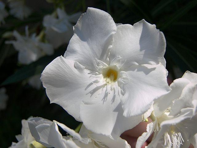 Witte oleander /  rust in het denken