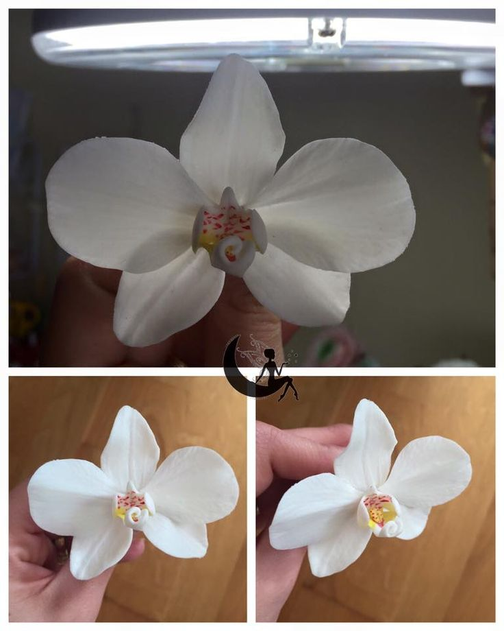 Cold porcelain phalaenopsis orchid (moth orchid)