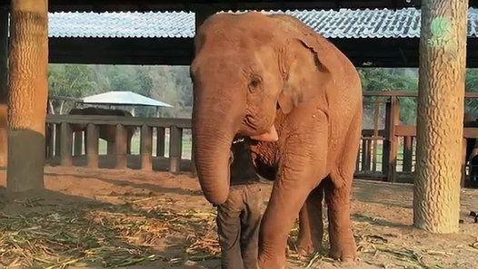 A l'Elephant Nature Park en Thaïlande, un éléphant s'endort en écoutant une femme chanter une berceuse. Même si Faamai est un gros éléphant, chaque fois qu'elle entend la berceuse de Lek Chailert, elle ne peut s'empêcher de s'endormir. Elephant Nature Park est un refuge pour les éléphants fondé en 1996 par Lek Chailert. Il se trouve dans le district de Mae Taeng (province de Chiang Mai).