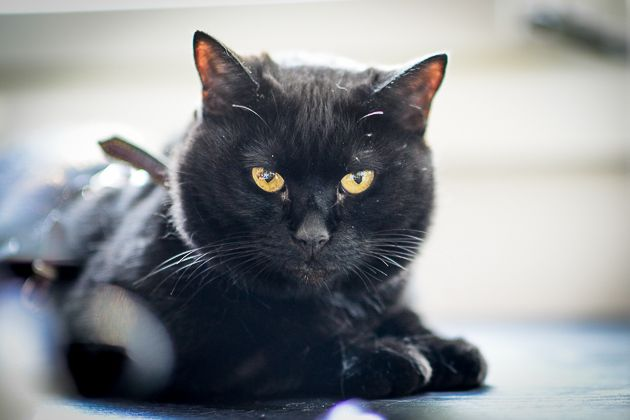 Muotokuva kissasta: Musti, kotikissa. Lemmikkikuvauksen salat: kissojen valokuvaaminen - http://www.ifolor.fi/inspire_lemmikkikuvaus_kissat