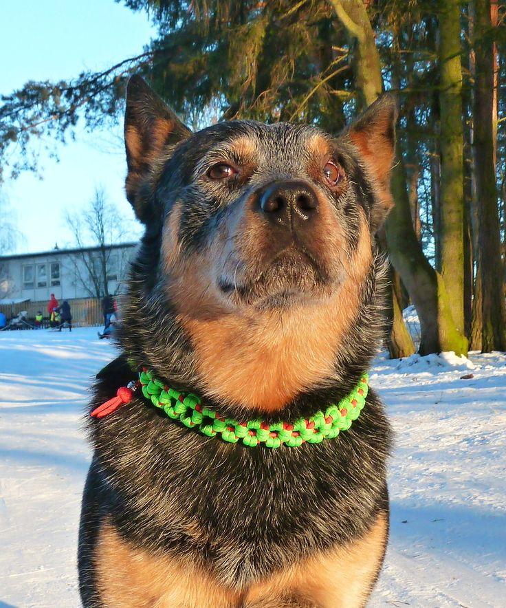 new Aztec Sun Bar martingale collar for Gordi ;)