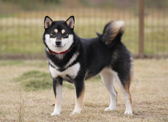 Black Shiba Inu Dog For Sale