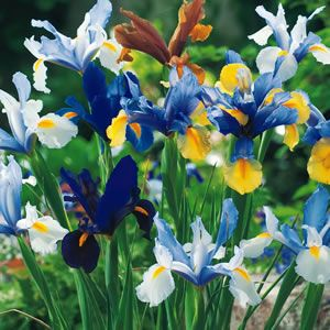 Buying these 'growers planting stock' sized bulbs will save you loads of cash and provide masses of spring colour, you just need patience and a bit of time. Ideal for larger plantings, swathes of colour or for naturalising in your garden. These smaller bulbs will flower less consistently in their first year but will ...