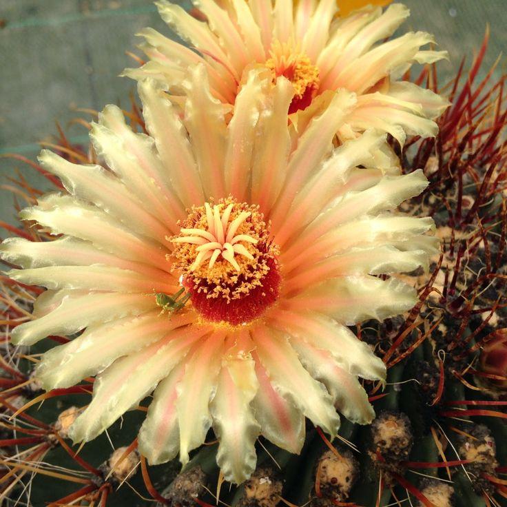 9 best images about cactus story jardinerie sp cialis e dans la vente de cactus on pinterest. Black Bedroom Furniture Sets. Home Design Ideas
