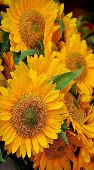 Glorious sunflowers.