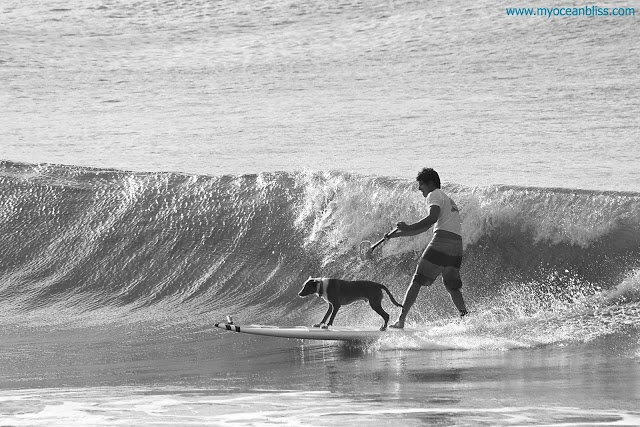 Dog surfing at Noosa's festival of surfing, click image to see more!