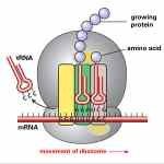What Is Protein Synthesis - http://www.proteinsynthesis.org/what-is-protein-synthesis/