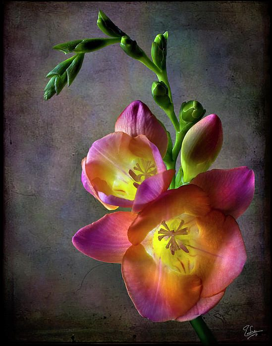 Freesia...beautiful & they smell so good.