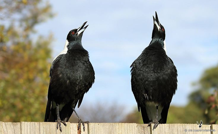 use these free australian magpie mp3 u0026 39 s as your phones ringtone  message alert tone or your just