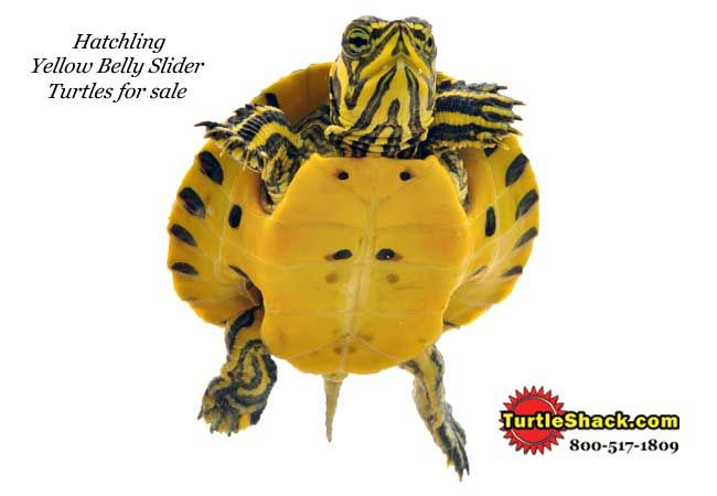 Hatchling Yellow Bellied Slider Turtles for sale