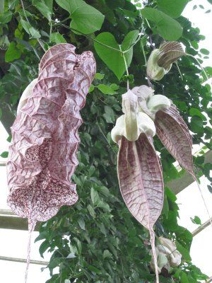 Image detail for -... plant: Aristolochia grandiflora or pelican flower from the Caribbean