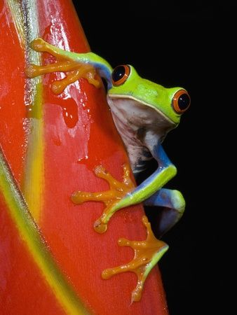 Red-eyed Tree Frog by Kevin Schafer. Photographic print from Art.com.