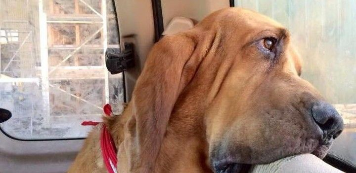 26 best images about bloodhounds on pinterest legends bloodhound
