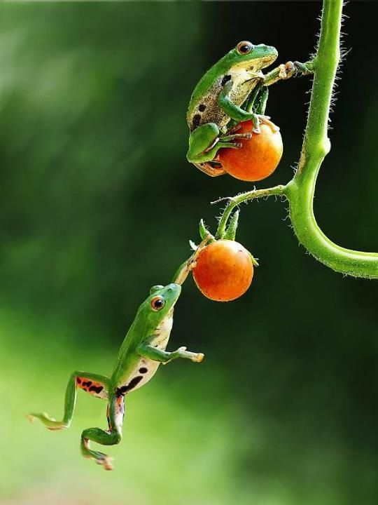 Garden frogs Tomato jumping!                                                                                                                                                                                 More