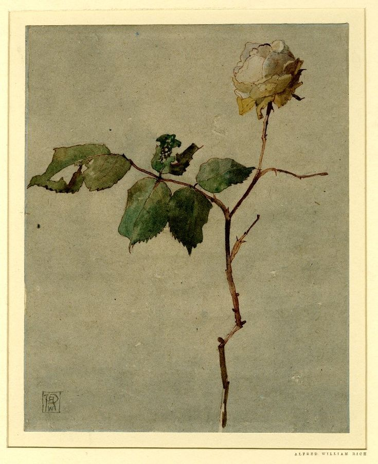 Alfred William Rich(British, 1856-1921)  December Rose   Pen and brown ink and watercolour, on grey-toned (?) paper