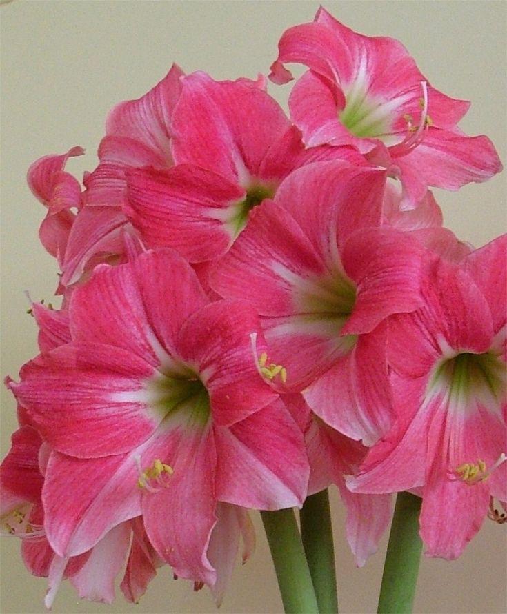 Miniature Amaryllis Neon - Exotic Dutch Amaryllis - Amaryllis - Flower Bulb Index