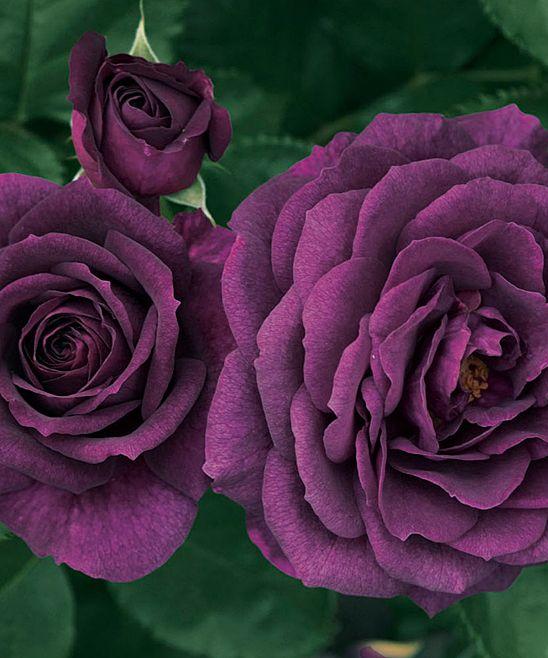 Purple Ebb Tide Rose Plant
