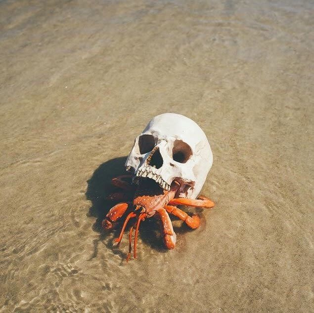 Edgy hermit crab uses a skull as a shell.