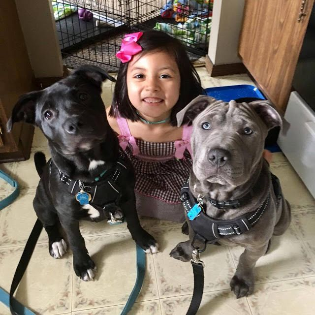 Randomocity: Violet the Dog Whisperer. Socializing puppies. Introducing people to puppies. Sharpei mix and pitbull mix. Children and dogs.
