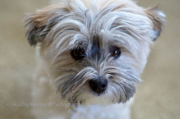 havanese grooming styles | Havanese Puppy Cut Havanese dog with 'puppy cut'
