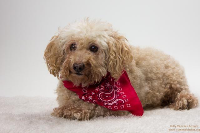 Poodle (Miniature) dog for Adoption in Santa Cruz, CA. ADN-712332 on PuppyFinder.com Gender: Male. Age: Senior