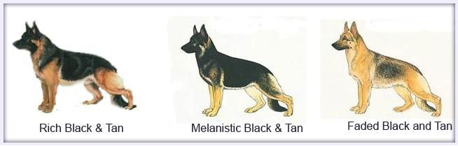 how to get a black and tan german shepherd