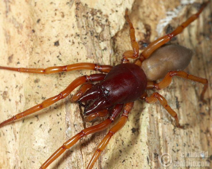 Sand scorpion spider - photo#7
