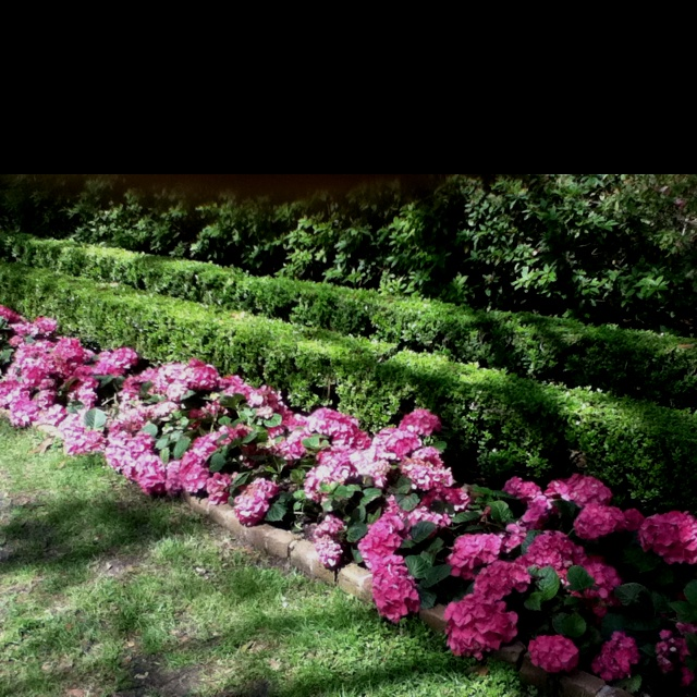 Hydrangeas at Bayou Bend gardens hydrangea boxwood and