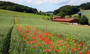 Strips of flowers across fields attract pollinators, predators of crop pests — reduces pesticide use. (The Guardian)