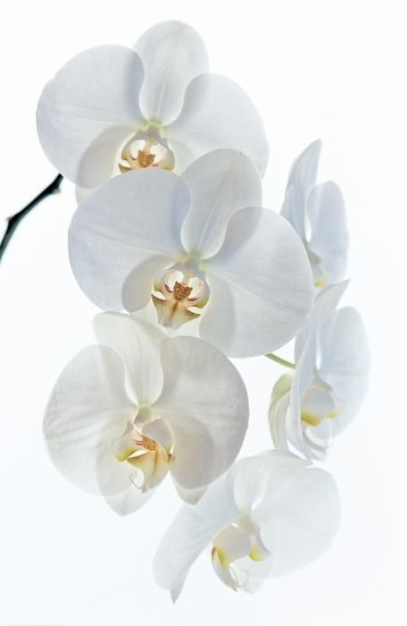 There truly is nothing more elegant than a white phalaenopsis orchid. Pretty, classy, and timeless.