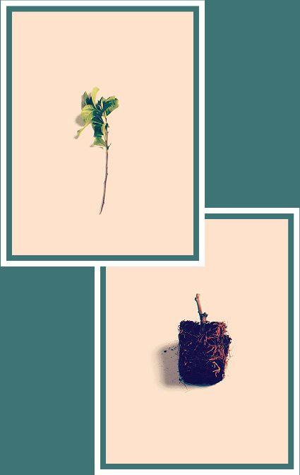 Het duurt ongeveer jaar voordat een boom is gekwalificeerd voor het produceren van gecertificeerd enthout. http://verwaardigingvanvoedsel.nl/