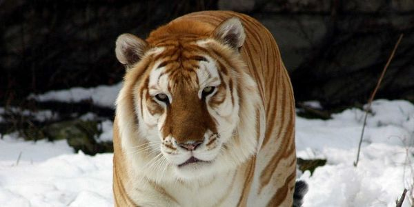 petition: Release The Only Golden Tabby Tigers from Zoos ,Circus ...