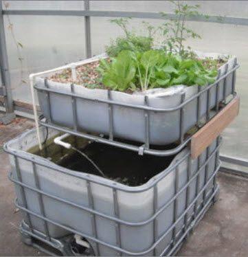 Ibc totes what about creating a little aquaponics for Catfish aquaponics