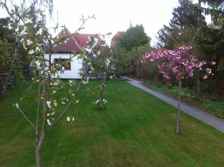 Cherries in bloom, early spring